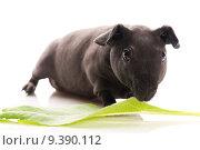 Купить «skinny guinea pig isolated on the white background», фото № 9390112, снято 25 июня 2018 г. (c) PantherMedia / Фотобанк Лори