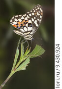 Купить «butterfly moth limetten schwalbenschwanz papilio», фото № 9430924, снято 23 января 2019 г. (c) PantherMedia / Фотобанк Лори