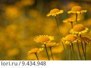 Купить «yellow arnica arzneipflanze bergwohl heilkr», фото № 9434948, снято 26 июня 2019 г. (c) PantherMedia / Фотобанк Лори