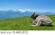 Купить «mountain alps cow bovine alpenpanorama», фото № 9443872, снято 20 августа 2019 г. (c) PantherMedia / Фотобанк Лори