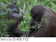 Купить «Female Orangutan», фото № 9456112, снято 25 июня 2018 г. (c) PantherMedia / Фотобанк Лори