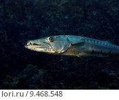 Купить «Barracuda showing sharp teeth in the Caribean Sea off Saba, Netherlands Antilles», фото № 9468548, снято 25 марта 2019 г. (c) PantherMedia / Фотобанк Лори