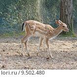 Купить «Young deer standing on the dirt», фото № 9502480, снято 25 мая 2019 г. (c) PantherMedia / Фотобанк Лори