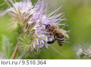 Купить «insect bee honeybee bienenfreund bienenweide», фото № 9510364, снято 15 октября 2019 г. (c) PantherMedia / Фотобанк Лори