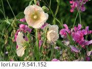 Купить «garden gardens vetches alcea rosea», фото № 9541152, снято 16 июля 2018 г. (c) PantherMedia / Фотобанк Лори