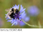 Купить «blue animal meadow insect bee», фото № 9547464, снято 15 октября 2019 г. (c) PantherMedia / Фотобанк Лори