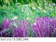 Купить «Цветы и травы в утренней росе на  лугу», фото № 9580344, снято 4 июля 2015 г. (c) Татьяна Белова / Фотобанк Лори
