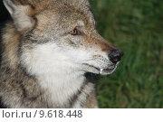 Купить «wolf lupus canis dog predator», фото № 9618448, снято 22 июля 2019 г. (c) PantherMedia / Фотобанк Лори