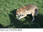 Купить «wolf lupus canis dog predator», фото № 9618464, снято 22 июля 2019 г. (c) PantherMedia / Фотобанк Лори