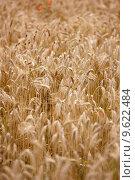 Купить «A photo of wheat ready to harvest», фото № 9622484, снято 19 декабря 2018 г. (c) PantherMedia / Фотобанк Лори