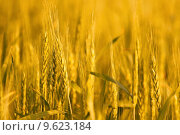 Купить «Wheat plants on an agricultural field in golden color», фото № 9623184, снято 19 декабря 2018 г. (c) PantherMedia / Фотобанк Лори