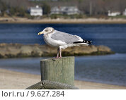 Купить «Seagull Close Up Marion Harbor Massachusetts Winter time», фото № 9627284, снято 27 марта 2019 г. (c) PantherMedia / Фотобанк Лори