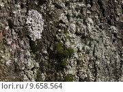 Купить «braid lichens plait cladonia fimbriata», фото № 9658564, снято 21 августа 2019 г. (c) PantherMedia / Фотобанк Лори
