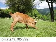 Купить «goat playing in Asturias», фото № 9705792, снято 27 мая 2019 г. (c) PantherMedia / Фотобанк Лори