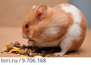 Купить «hamster eating», фото № 9706168, снято 22 мая 2018 г. (c) PantherMedia / Фотобанк Лори