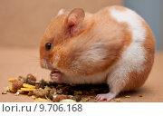 Купить «hamster eating», фото № 9706168, снято 27 апреля 2018 г. (c) PantherMedia / Фотобанк Лори