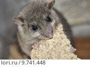 Купить «rodent engulf devour dormouse gnaw», фото № 9741448, снято 17 июля 2019 г. (c) PantherMedia / Фотобанк Лори