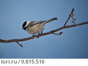Купить «Black-capped Chickadee perched on a branch», фото № 9815516, снято 19 апреля 2019 г. (c) PantherMedia / Фотобанк Лори