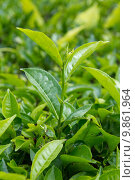 Купить «Tea leaves», фото № 9861964, снято 23 февраля 2019 г. (c) PantherMedia / Фотобанк Лори