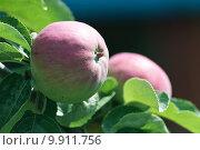 Купить «Спелые розовые яблоки на ветках яблони», фото № 9911756, снято 27 июня 2015 г. (c) Наталья Быстрая / Фотобанк Лори