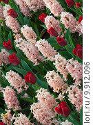 Купить «Красивые цветы на клумбе», фото № 9912096, снято 29 апреля 2015 г. (c) Наталья Быстрая / Фотобанк Лори