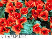 Купить «Красные тюльпаны, вид сверху», фото № 9912144, снято 29 апреля 2015 г. (c) Наталья Быстрая / Фотобанк Лори