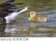 Купить «chick squabs graugans graugansk ken», фото № 9914724, снято 25 июня 2019 г. (c) PantherMedia / Фотобанк Лори