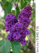 Купить «spring purple bud blossoms lilac», фото № 9940116, снято 25 марта 2019 г. (c) PantherMedia / Фотобанк Лори