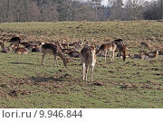 Купить «wild mammal fallow deer gregarious», фото № 9946844, снято 26 марта 2019 г. (c) PantherMedia / Фотобанк Лори
