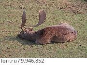 Купить «wild mammal fallow deer gregarious», фото № 9946852, снято 26 марта 2019 г. (c) PantherMedia / Фотобанк Лори