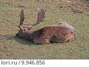 Купить «wild mammal fallow deer gregarious», фото № 9946856, снято 26 марта 2019 г. (c) PantherMedia / Фотобанк Лори
