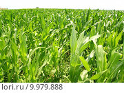Купить «agriculture corn plants field green plantation», фото № 9979888, снято 24 октября 2018 г. (c) PantherMedia / Фотобанк Лори