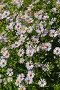 Многолетняя Астра (Aster). Осеннее цветение Астры, фото № 10029648, снято 17 августа 2015 г. (c) Евгений Мухортов / Фотобанк Лори