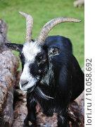 Купить «nature black skin goat swarthy», фото № 10058692, снято 27 мая 2019 г. (c) PantherMedia / Фотобанк Лори