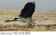 Купить «Great Blue Heron in Flight», фото № 10114500, снято 6 июля 2020 г. (c) PantherMedia / Фотобанк Лори