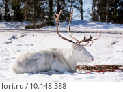 Купить «A reindeer laying down sleeping in the snow», фото № 10148388, снято 14 января 2018 г. (c) PantherMedia / Фотобанк Лори