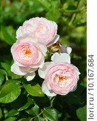 Купить «Роза кустарниковая Херитэдж (лат. Heritage), David Austin 1984», эксклюзивное фото № 10167684, снято 11 августа 2015 г. (c) lana1501 / Фотобанк Лори