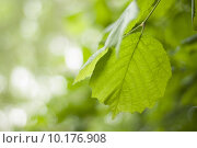 Купить «Close up of hazel leaves on the tree», фото № 10176908, снято 21 мая 2019 г. (c) PantherMedia / Фотобанк Лори