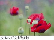 Купить «Red Poppy Field», фото № 10176916, снято 21 мая 2019 г. (c) PantherMedia / Фотобанк Лори