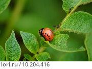 Купить «Личинка колорадского жука», фото № 10204416, снято 12 июля 2015 г. (c) Константин Кург / Фотобанк Лори