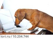 Купить «dog using computer», фото № 10204744, снято 21 февраля 2019 г. (c) PantherMedia / Фотобанк Лори