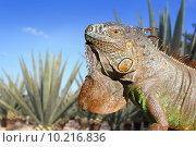 Купить «Iguana Mexico in agave tequilana field blue sky», фото № 10216836, снято 17 января 2018 г. (c) PantherMedia / Фотобанк Лори