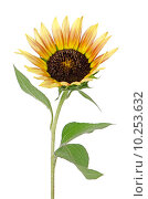 Купить «Sunflower flower», фото № 10253632, снято 25 марта 2019 г. (c) PantherMedia / Фотобанк Лори