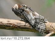 Купить «insect butterfly moth cossus nachtaktiv», фото № 10272064, снято 24 июля 2019 г. (c) PantherMedia / Фотобанк Лори