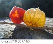Купить «orange autumn fall autumnal physalis», фото № 10307160, снято 19 сентября 2018 г. (c) PantherMedia / Фотобанк Лори