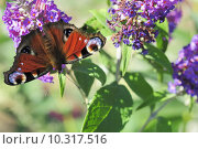 Купить «purple butterfly violet moth buzz», фото № 10317516, снято 25 марта 2019 г. (c) PantherMedia / Фотобанк Лори