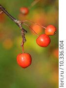 Купить «autumn fall apple apples embellishment», фото № 10336004, снято 22 января 2019 г. (c) PantherMedia / Фотобанк Лори