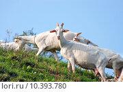 Купить «a flock of goats to graze», фото № 10393780, снято 25 марта 2019 г. (c) PantherMedia / Фотобанк Лори