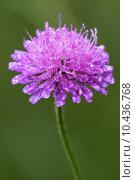 Купить «violet flower dispsacacea», фото № 10436768, снято 15 сентября 2019 г. (c) PantherMedia / Фотобанк Лори