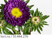 Купить «Purple China Aster (Callistephus chinensis) flower and bud», фото № 10444276, снято 18 января 2019 г. (c) PantherMedia / Фотобанк Лори